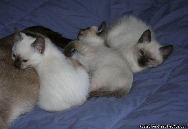 Kittens+for+sale+in+colorado