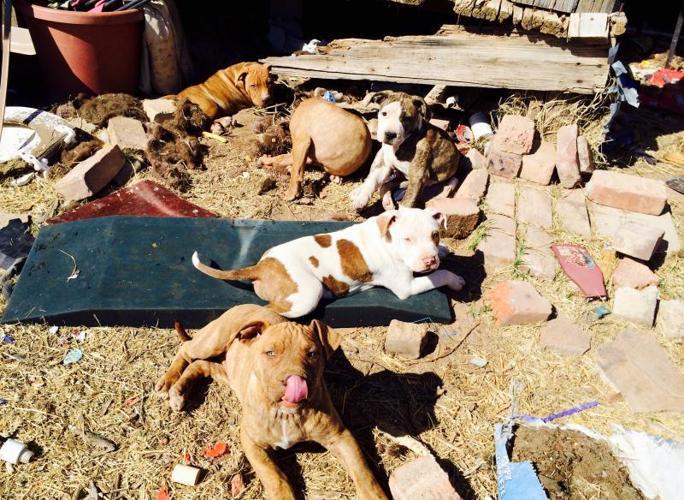 10 wk pit bull puppies