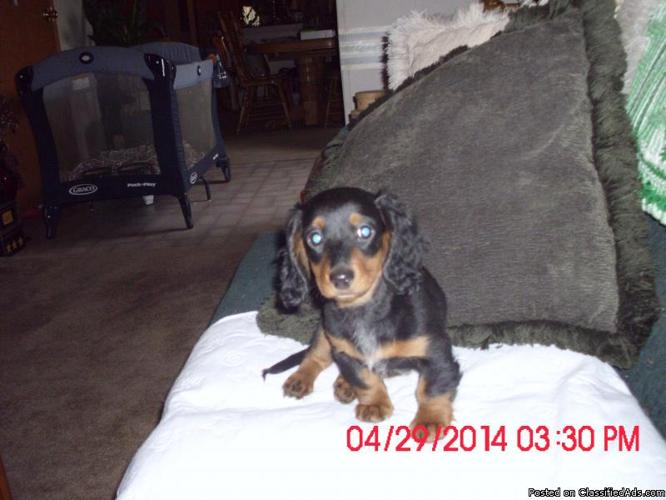 12 week old longhaired Miniature Dachshunds