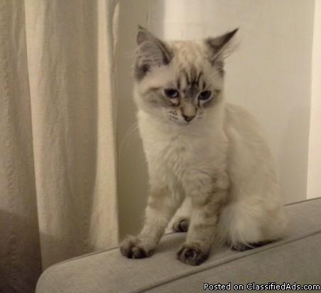 12 WEEKS OLD RAGDOLL Kittens for sale in Warren, Michigan