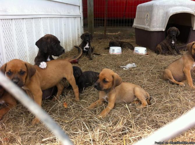 1/2 boxer puppies free to good home