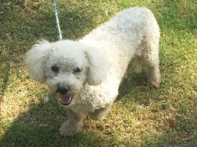 1 Free Bichon Dog - Price: Free