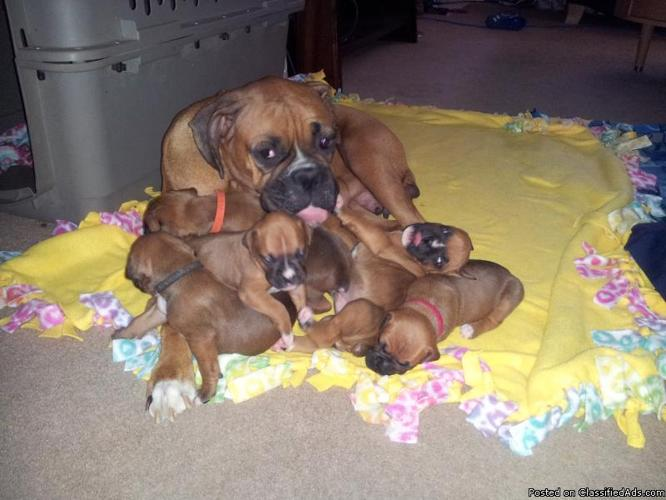 1 Loving Adorable Male Boxer Puppy Left For Sale In Denver