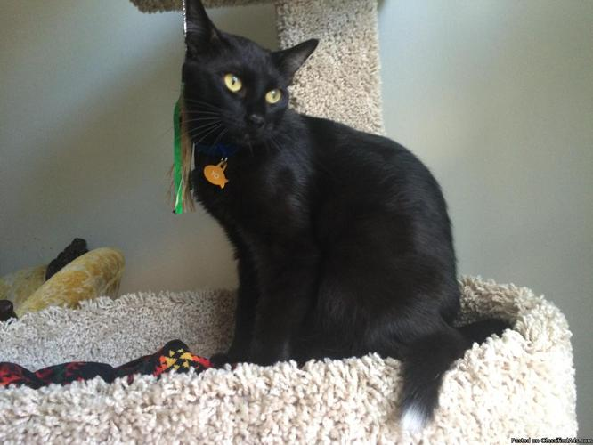 1 Year Old Bombay Cat Looking For Loving Home