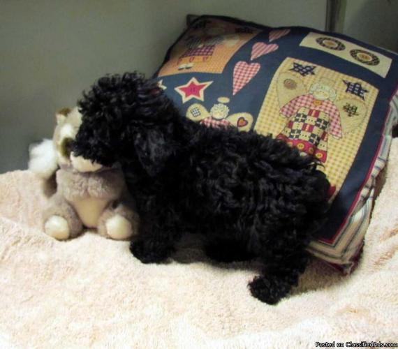 $350. Small CKC Registered Toy Poodle puppies ready to go home now. - Price: 350