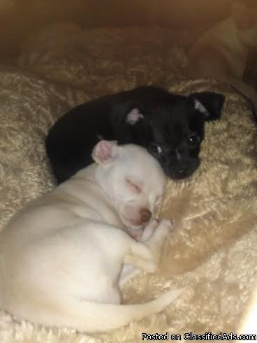 3 Adorable Chihuahua Puppies Are For Sale 2 Males 1 Female In