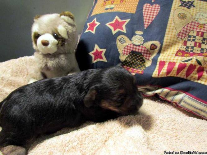 $400. Beautiful Yorkie-Poo Puppies, CKC Reg. Healthy & happy puppies! - Price: 400