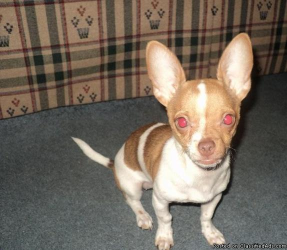 6 month female chihuahua puppy - Price: 250.00-300.00