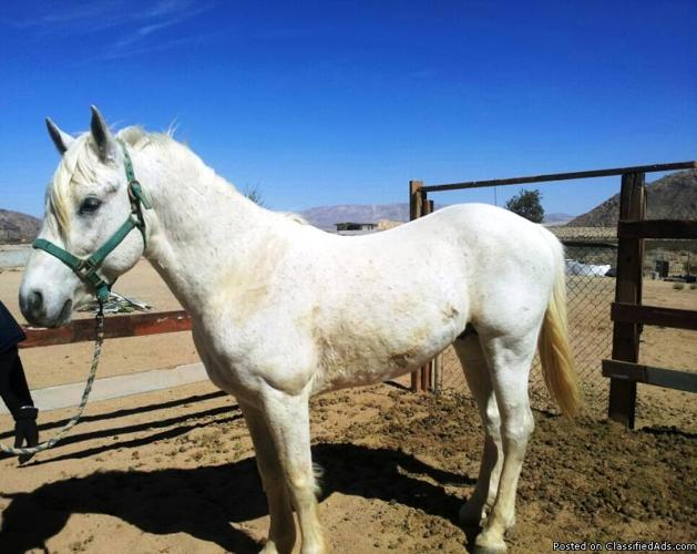 6yr. Old Azteca Stallion