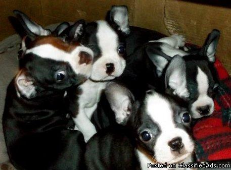 7 boston terrier puppies for sale 9 weeks AKC Shots Wormed