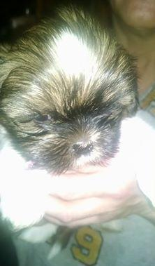7 Pure Bred (no papers) Shih Tzu puppies for sale in Bowens