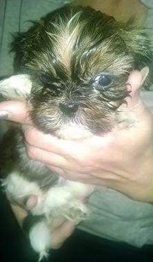 7 Pure Bred Shih Tzu puppies for sale in Bowens Corners, New