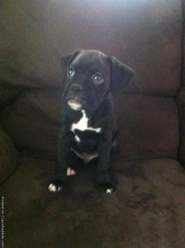 8 week old boxer puppies for sale in Russell Springs