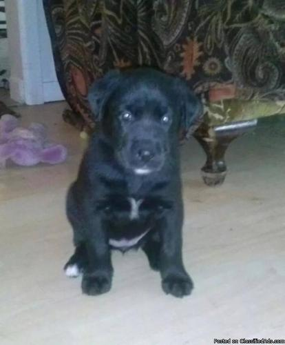 8 Week Old Great Dane/Boxer & Lab Puppies