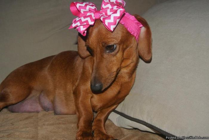 A small standard red Dachshund , with a litter of 6