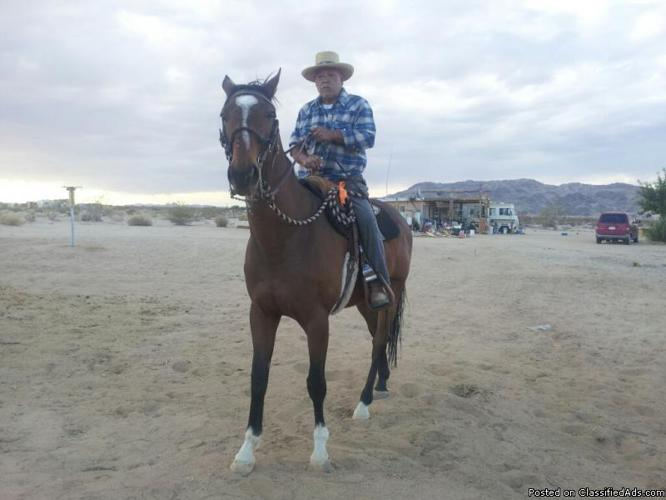 A THOROUGHBRED HORSE FOR SELL(SE VENDE UN CABALLO THOUROUGHBRED)