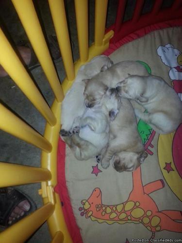 Abc Golden Retriever Pups In Brookville Indiana Cannonadscom