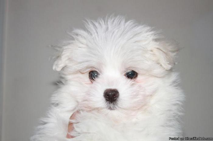 ACA Maltese puppy-4 months old