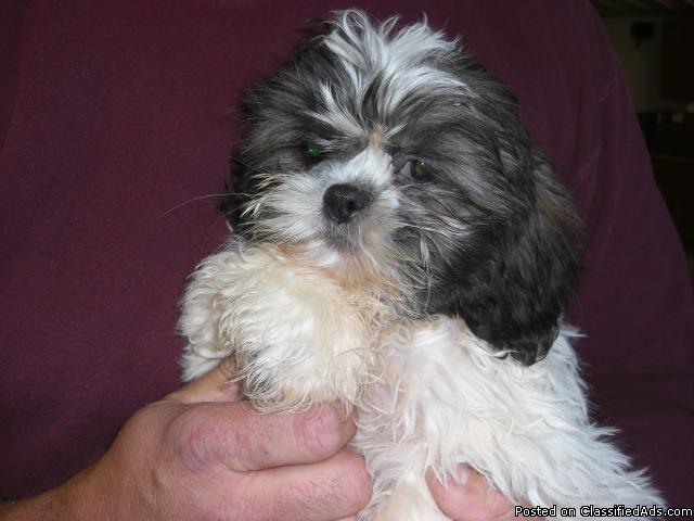 ACA Registered Shih-Tuz Puppy for Sale - Price: $350