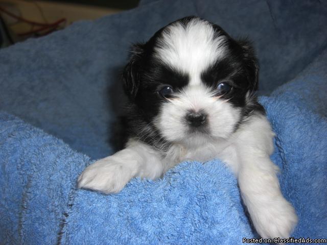 ACA Registered Shih-Tuz Puppy for Sale - Price: $450