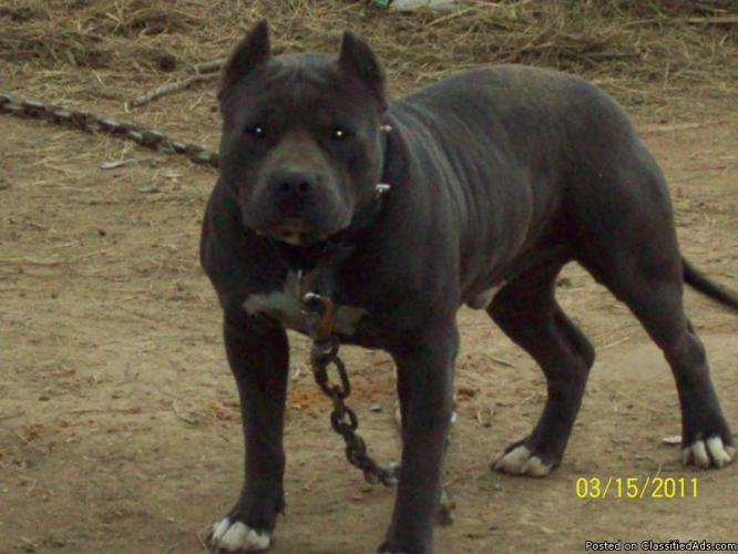 ADBA Razors Edge Pitbull Puppies - Price: $500 in Starkville