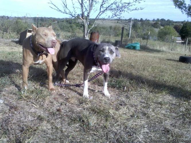 ADBA REG  Pitbull Pups - Price: $400 00 in Lawrenceburg
