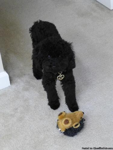 Adorable 5.25 Pound 19 Month Old Black Female Toy Poodle For Sale