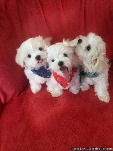 Adorable AKC Maltese Puppies with Champion Bloodlines in
