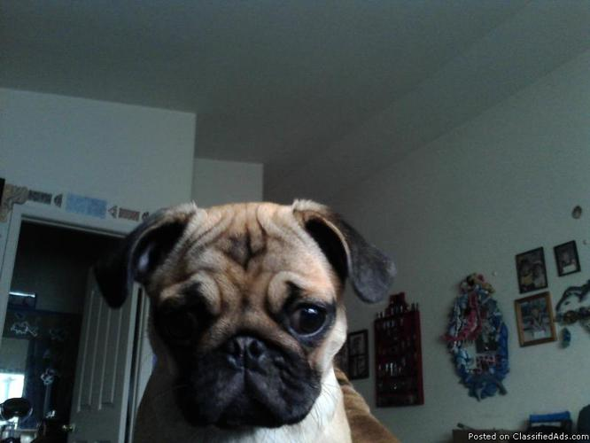 Adorable AKC Pug Puppy!! in Newbury Park, California