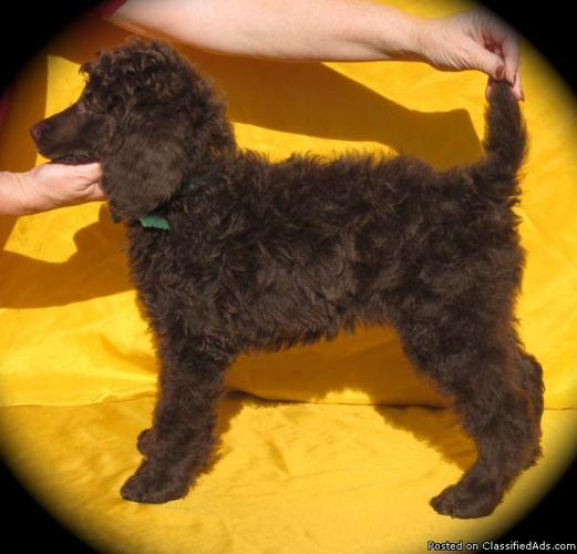 Adorable AKC Reg. Standard Poodle Puppies Cream & Brown - Price: 1,500