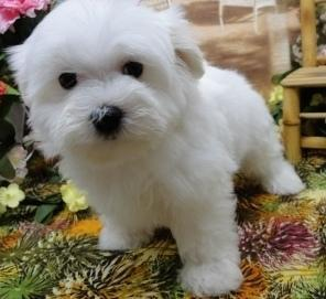 Adorable and Cute Maltese puppies Available now