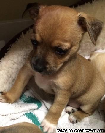 Adorable Chihuahua Pups