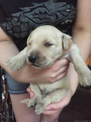Adorable F1 Goldendoodle puppies for sale in WNY!! in
