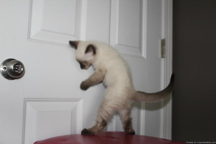 Adorable female Siamese Kitten