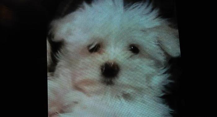 adorable tiny maltese puppies for adoption