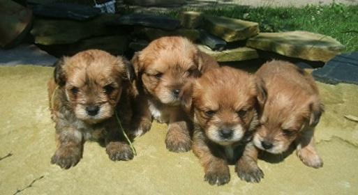 Adorable, Tiny Morkanese Puppies