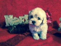 Adorable Tiny Xmas Maltipoo Puppies