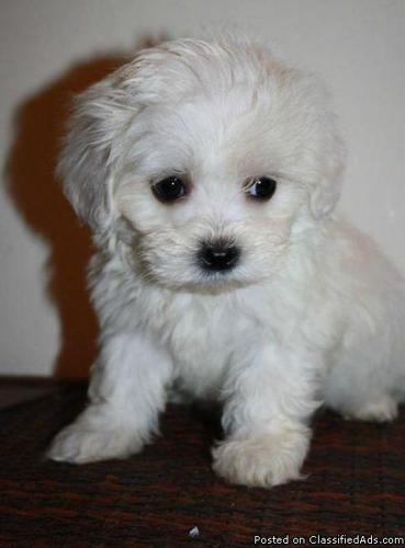Adorable Toy and Teacup Maltipoo Puppies for Adoption in