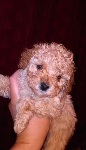 adorable toy poodles for adoption