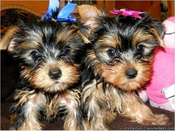 Adorable Yorkie puppies    text us (914)819-5602 in Lenoir