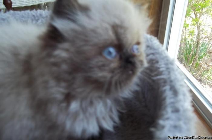 AFFORDABLE HIMALAYAN KITTEN in Blue Hill, Pennsylvania