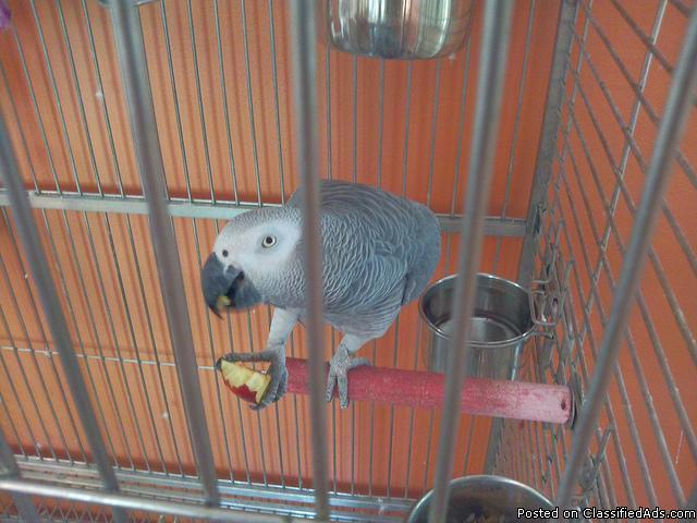 African Grey Parrots for Sale in Jacksonville, North Carolina ...