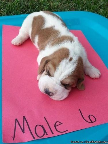AKC Basset Hound Puppies