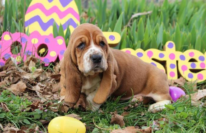 AKC Basset Hound Puppies! in Cave City, Kentucky   CannonAds com