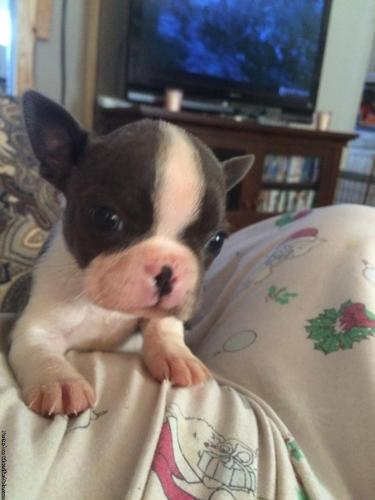 AKC blue Boston terrier puppies in Trinity, North Carolina