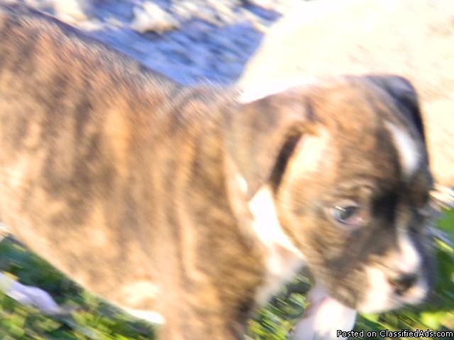 Akc Boxer German Shepherd Puppies Price 475 In West Lafayette