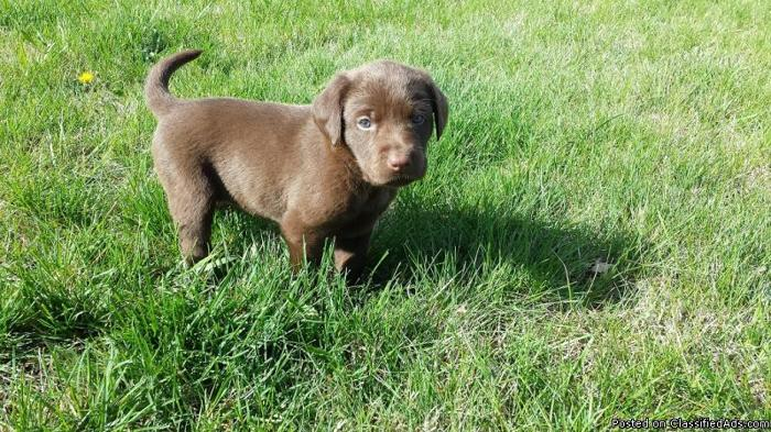 AKC Chocolate And Sliver Frosted Chocolate Labrador Retriever Puppies!!!