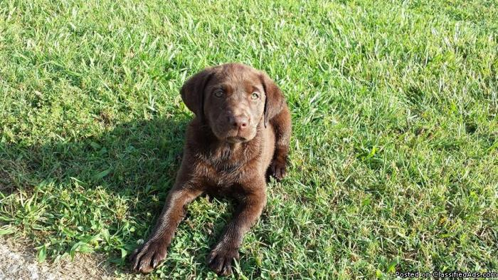 AKC Chocolate Lab Puppies With 28 Titles In Hunting And In Show, READY NOW!!!