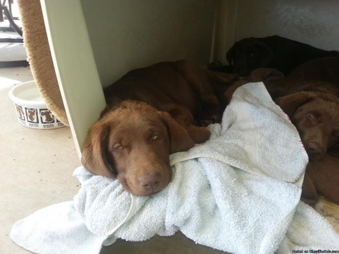 AKC Chocolate Labrador Puppies