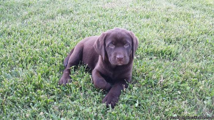 AKC Chocolate Labrador Retriever Puppies, Male And Female, READY NOW!!!